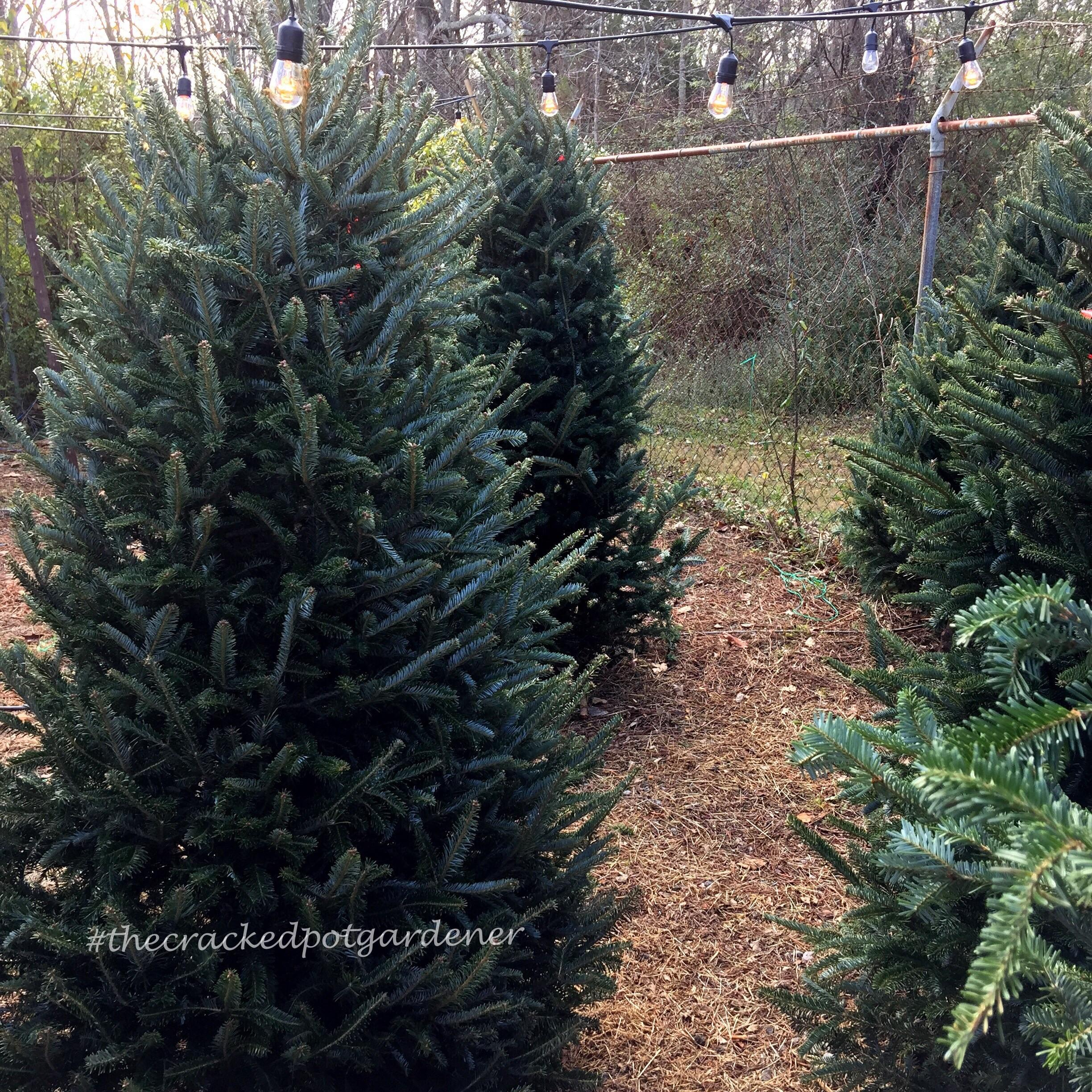 100 Choosing Christmas Tree Best Fresh