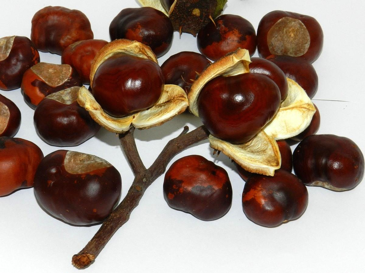 50pcs Real Horse Chestnuts Dried Natural