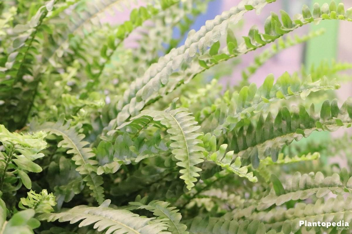 Air Fern Plant Care Common Uses Ferns