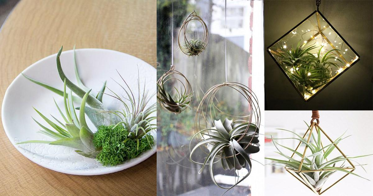 Air Plant Care Tips Should Know Balcony Garden Web