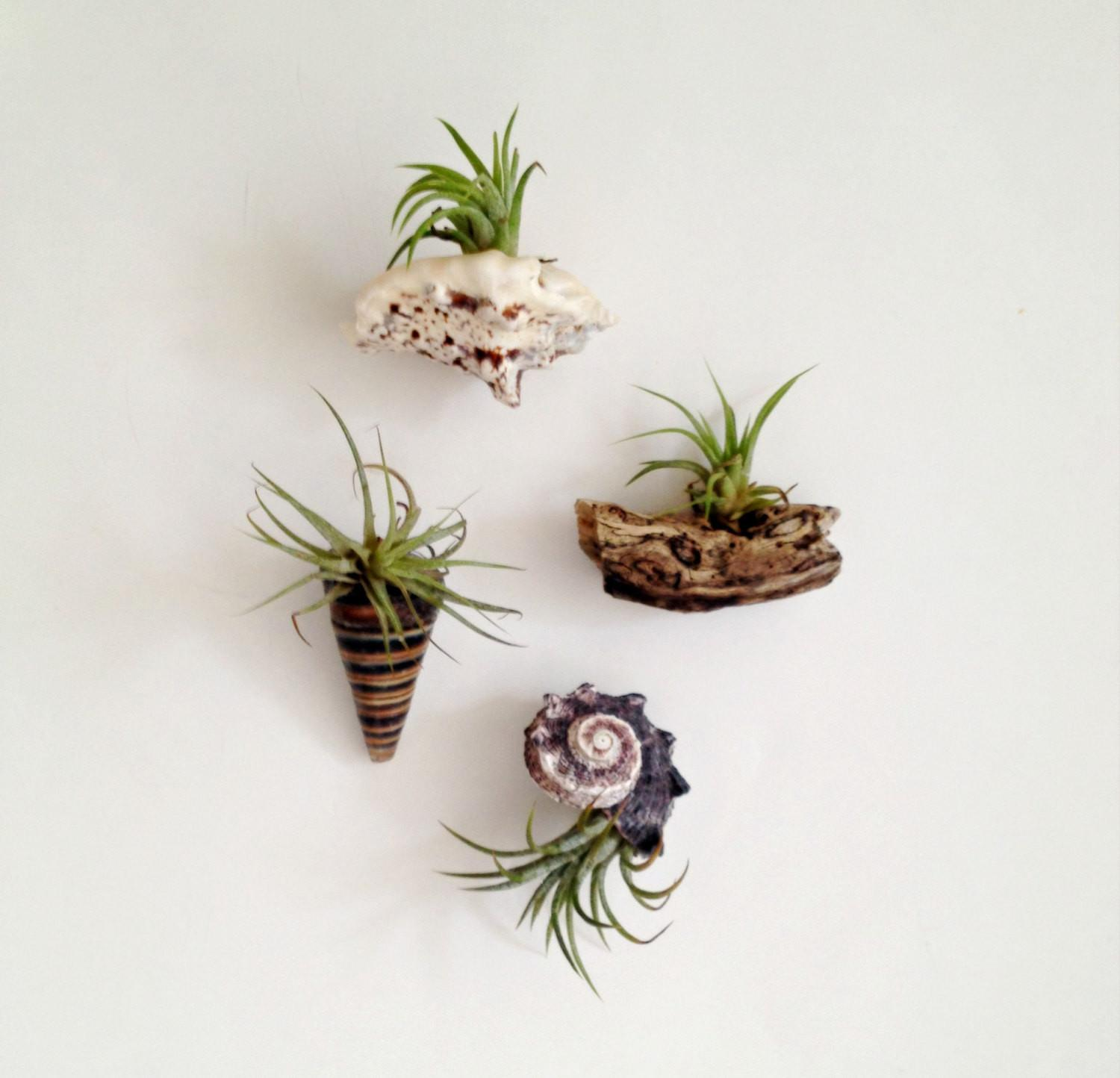 Air Plant Sea Shell Magnets Living Decor Tillandsia