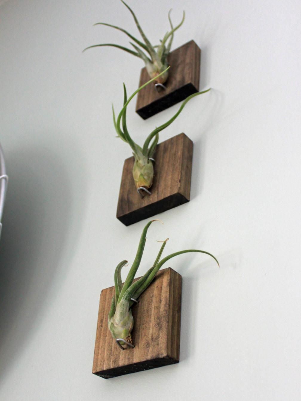 Air Plant Wall Mount 4296