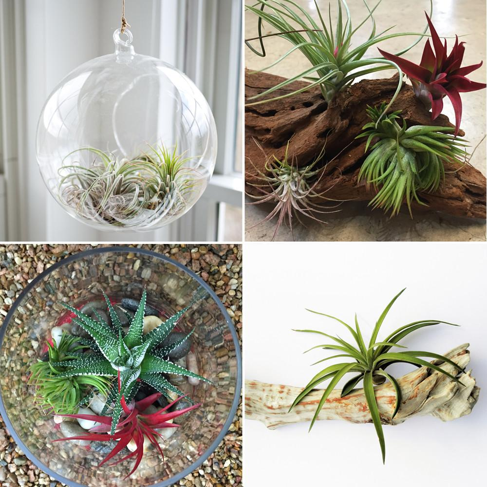 Air Plants Archives Freytags Florist