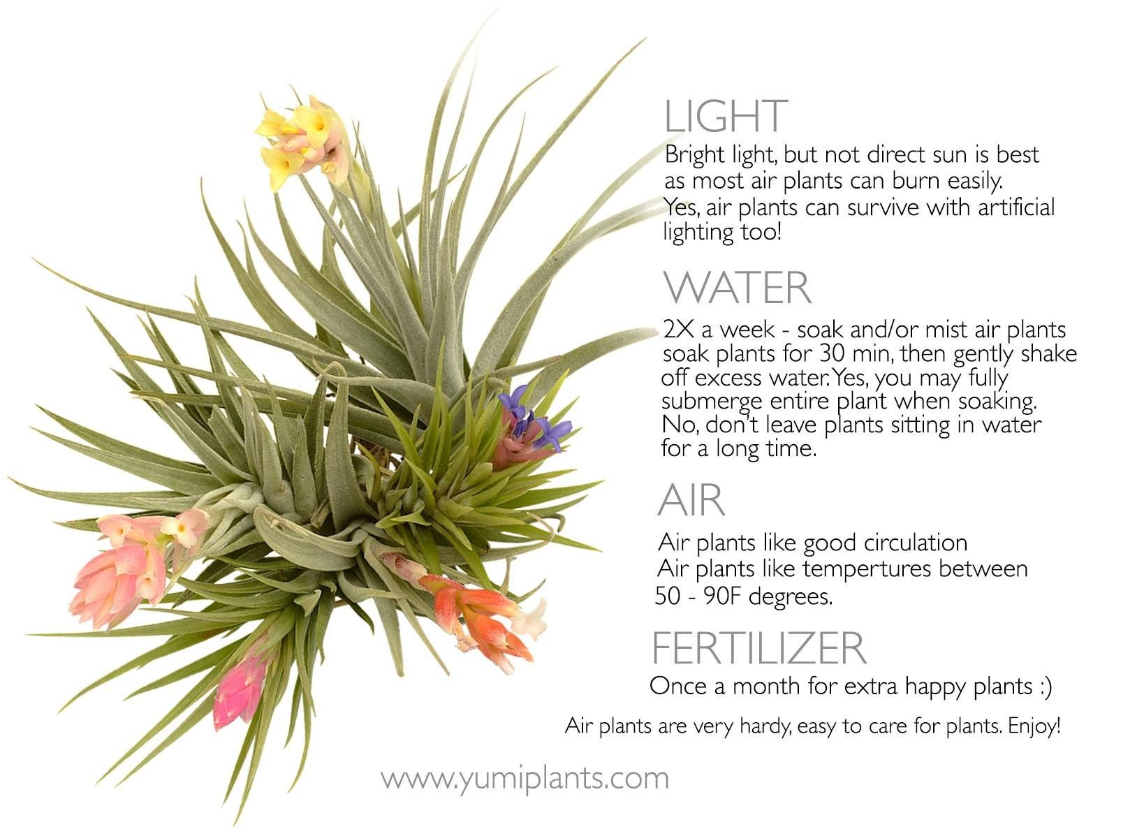 Air Plants Care Instructions Yumi Jewelry