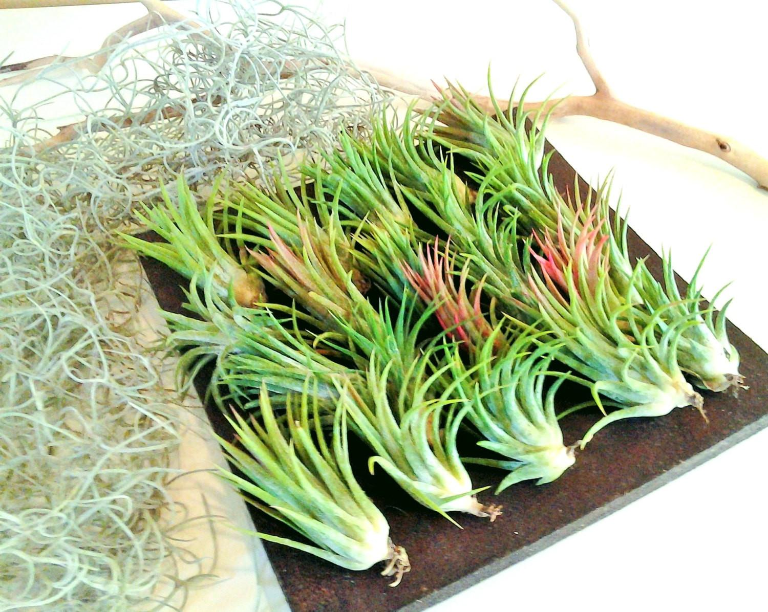 Air Plants Moss Wholesale Wedding