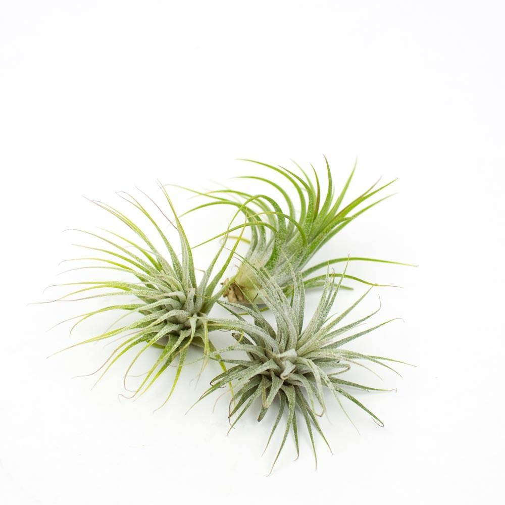Air Plants Plant Care Tips