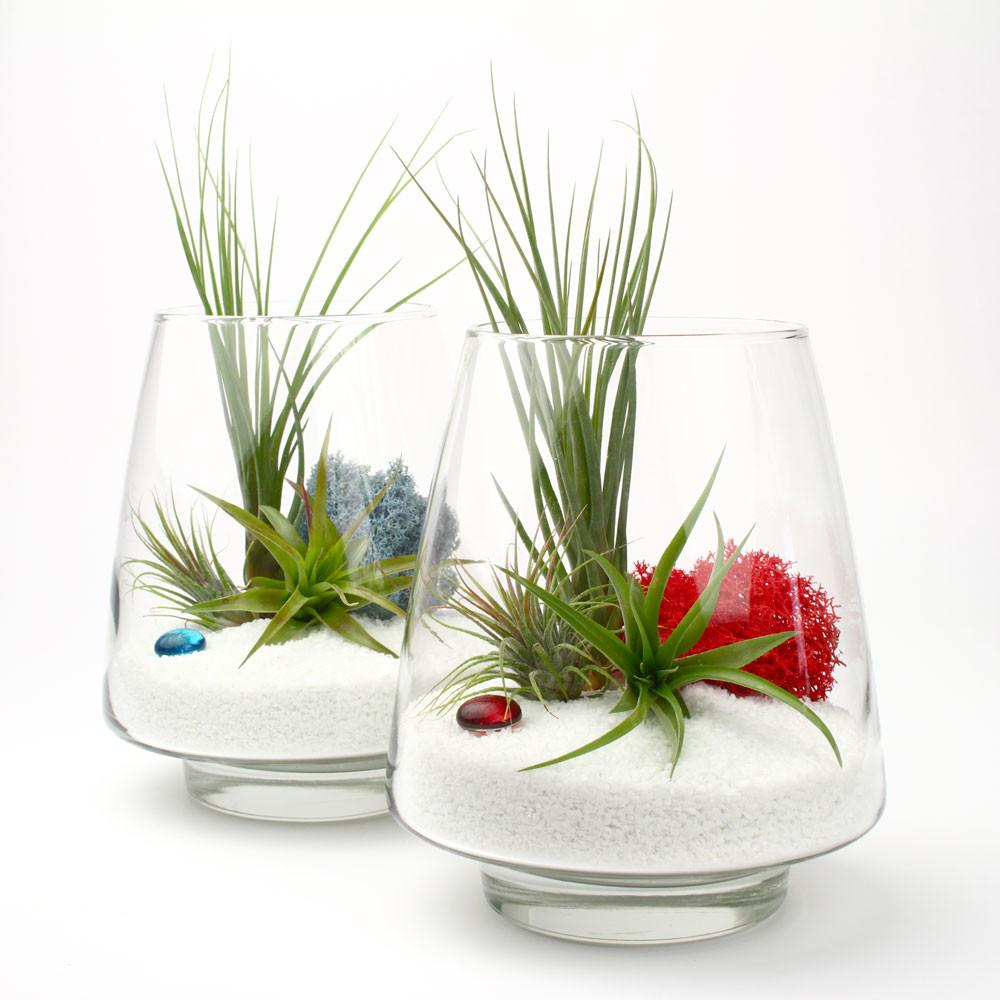 Arrowhead Diy Air Plant Terrarium Kit Juicykits