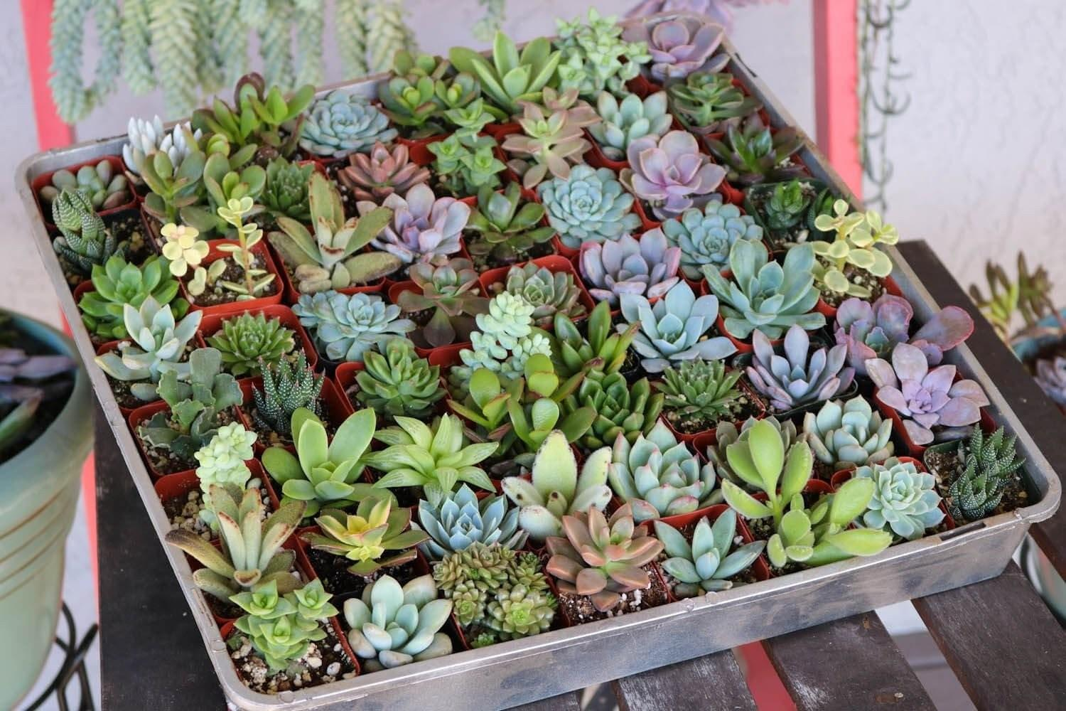 Assorted Succulent Succulents Sale Bulk