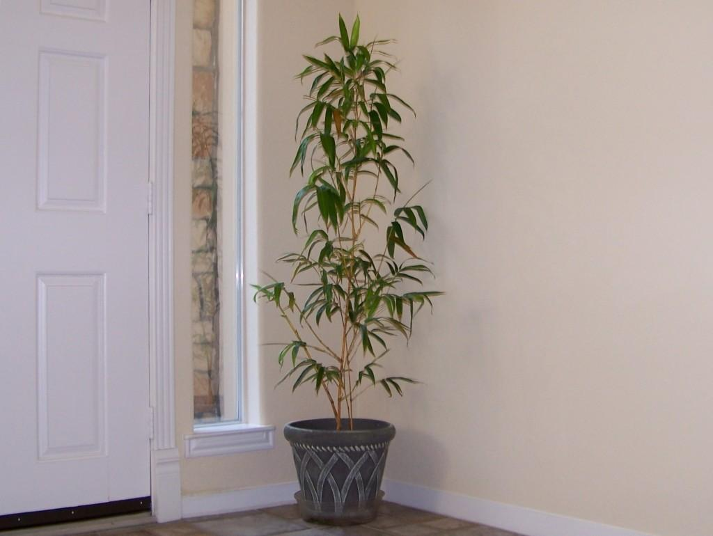 Bamboo House Plant Soothing Chinese Plants