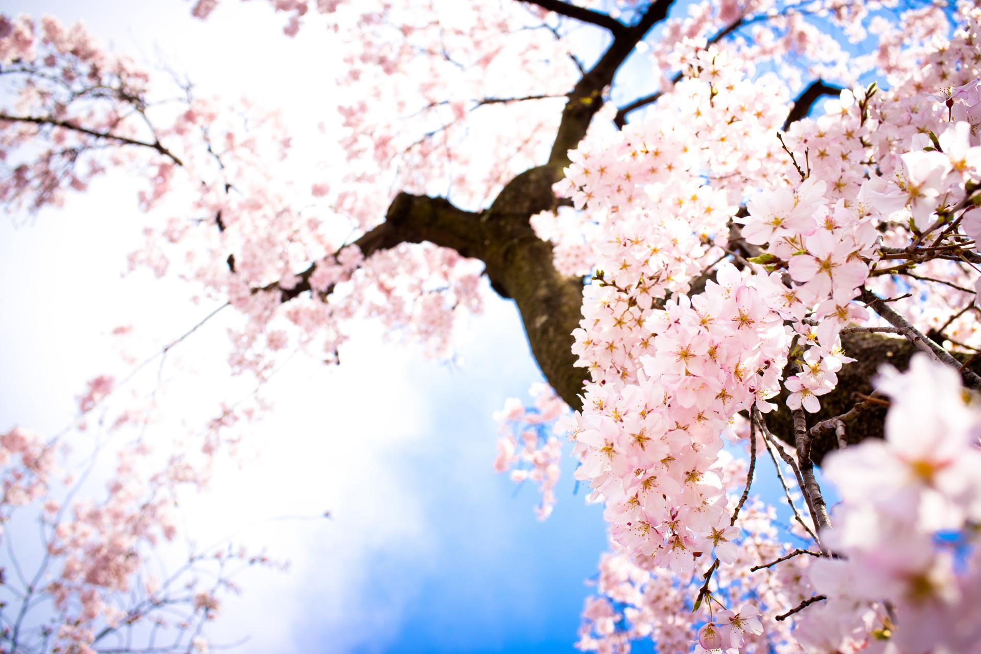 Beautiful Pink Cherry Blossom Colors