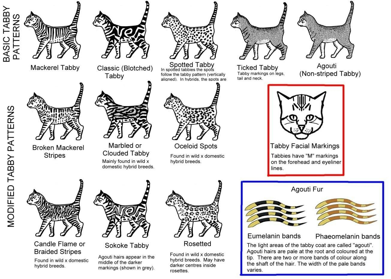 Bengal Coats Patterns Royalty Cattery