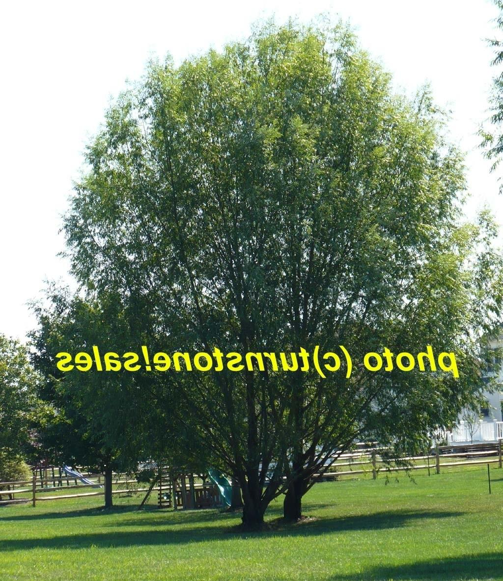 Best Fast Growing Shade Trees Indiana Custom Set