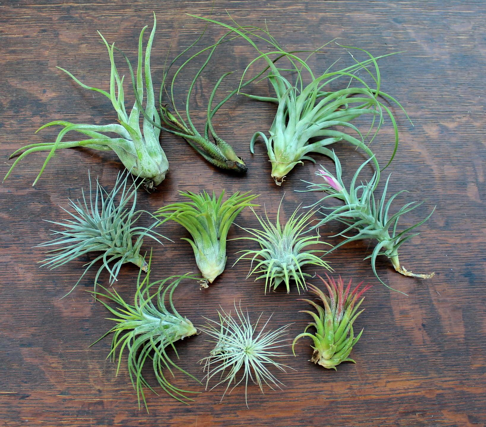Buy Exotic Air Plants Tillandsia Succulents Real Deals