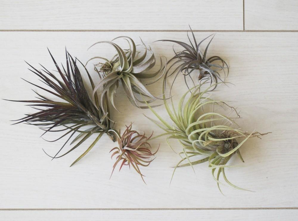 Care Air Plants