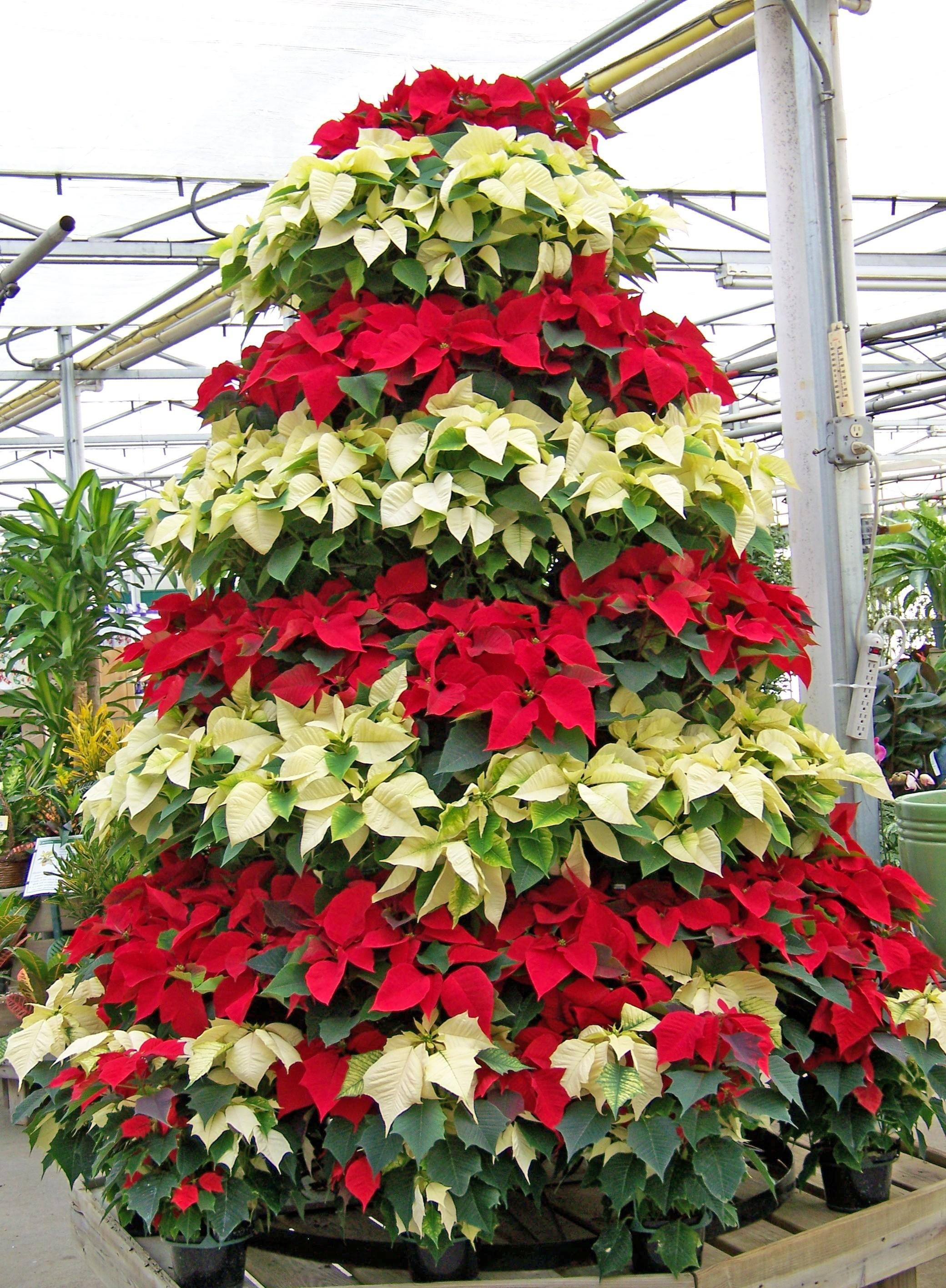 Celebrate National Poinsettia Day Krohn Conservatory