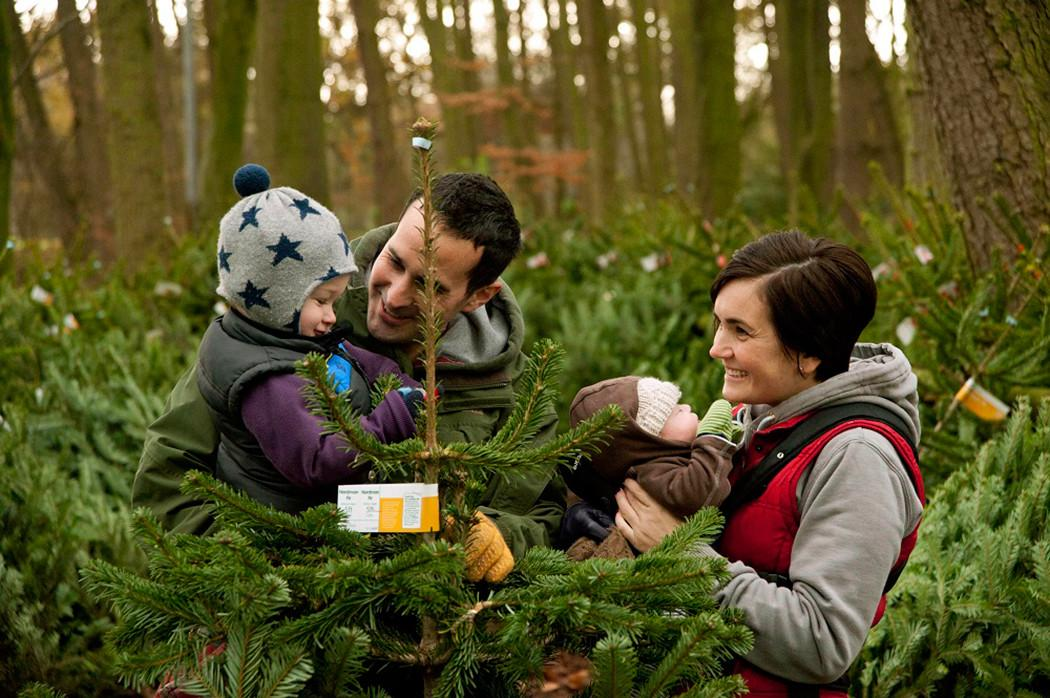 Choosing Perfect Christmas Tree Forestry Commission