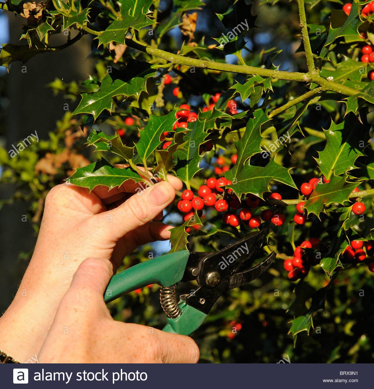 Cutting Red Berries Holly Tree Branch Christmas