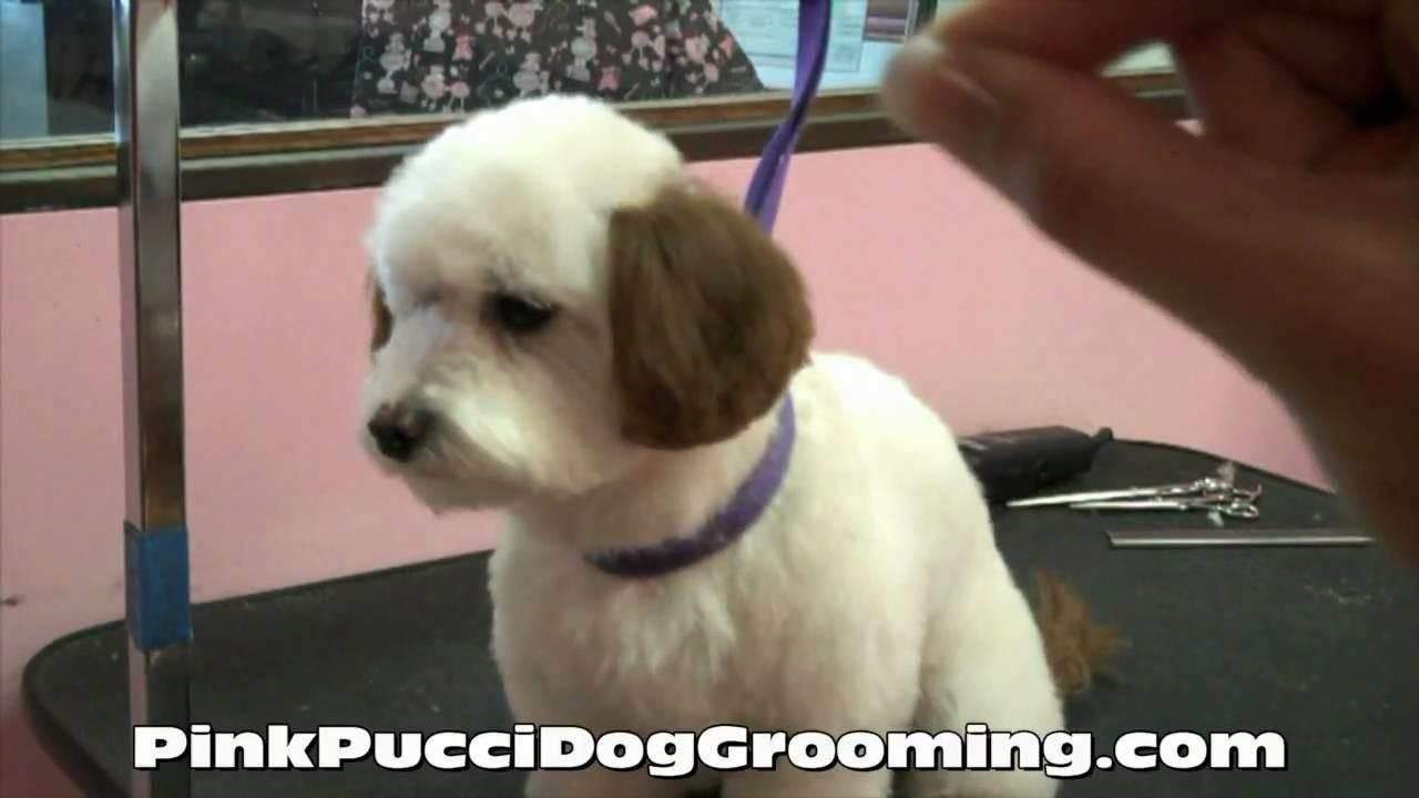 Dog Grooming Maltipoo Ryu Gets Japanese Style Makeover