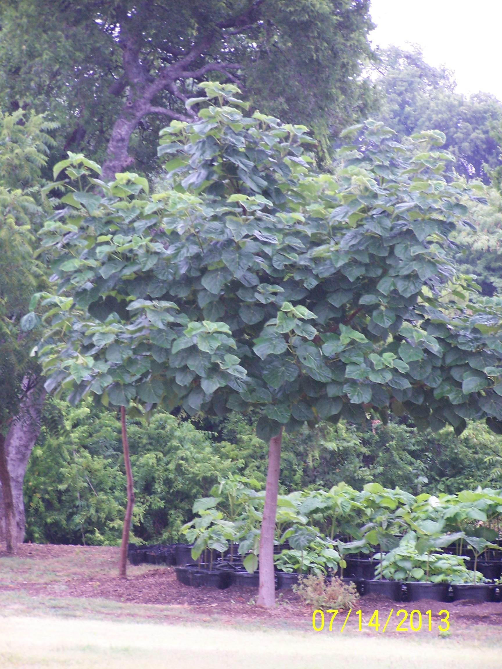 Fast Shade Tree Farm Midlothian Heart Shaped Leaves
