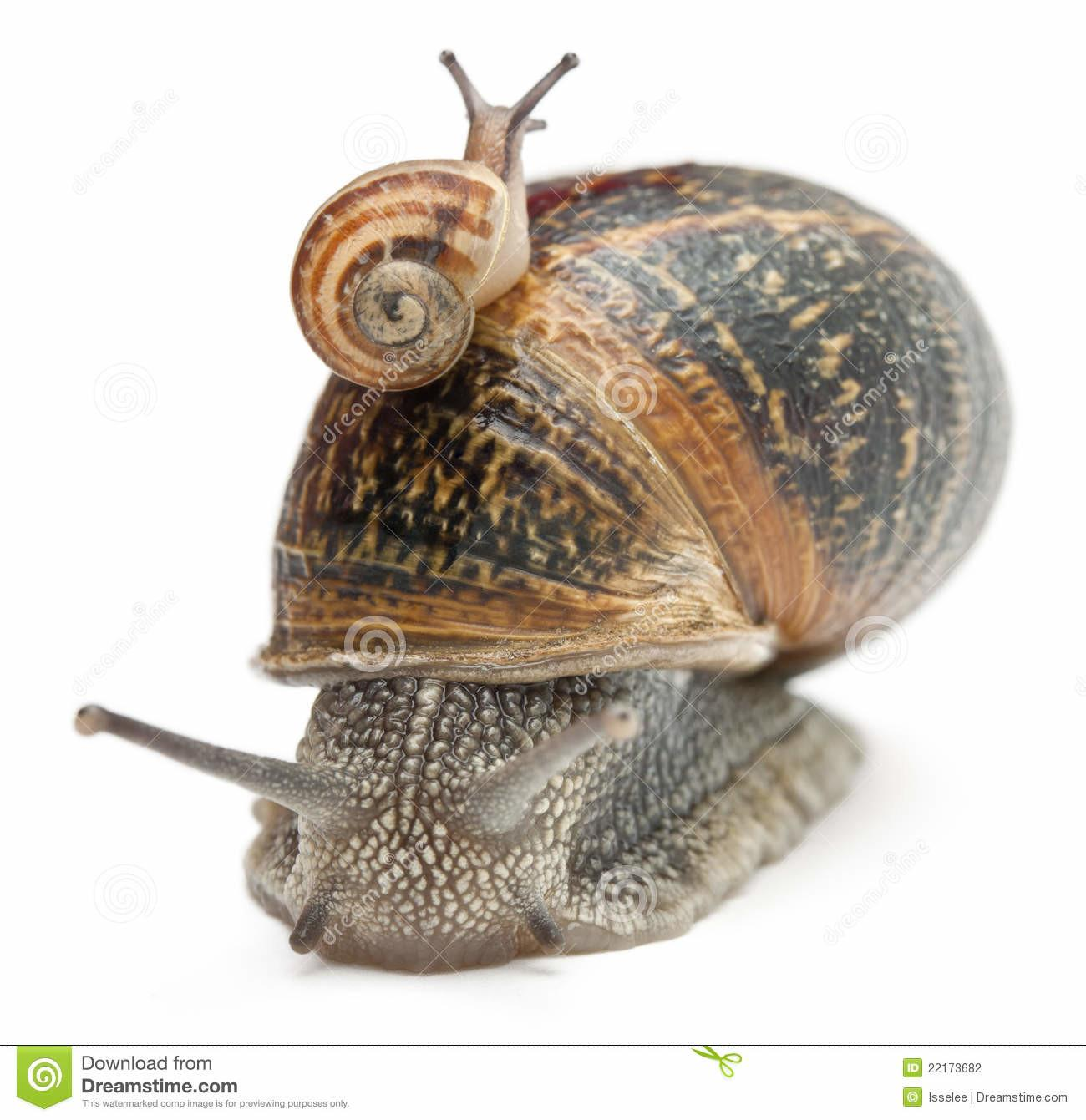 Garden Snail Its Baby Shell Stock Photography