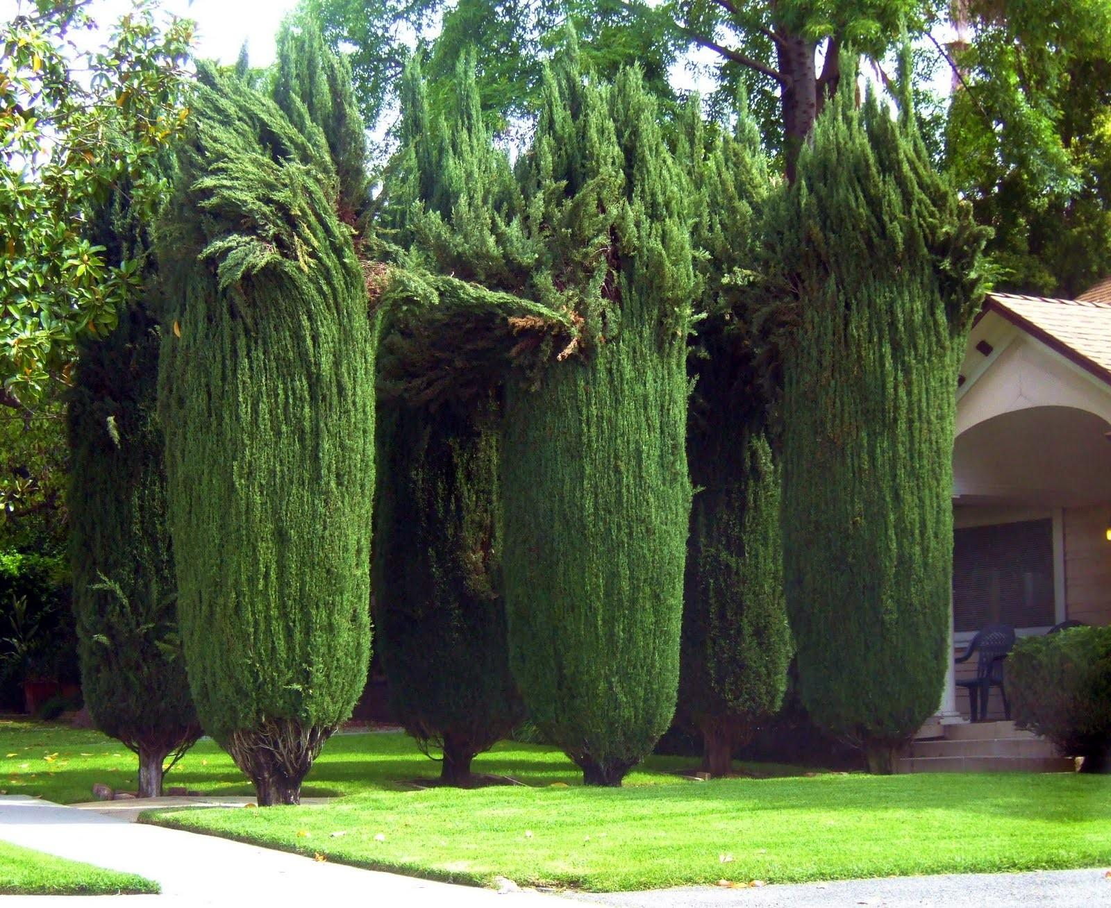 Glimpses South Pasadena Mullets Topiary Style