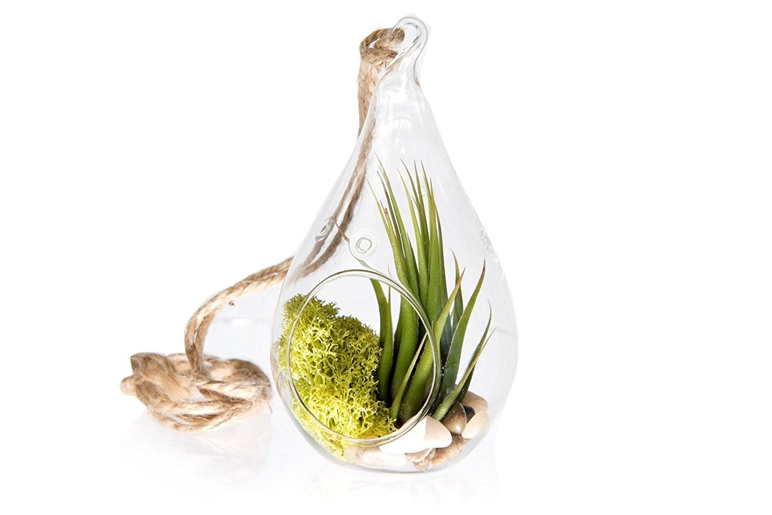Glyby Air Plant Tillandsia Bromeliads Kit Teardrop