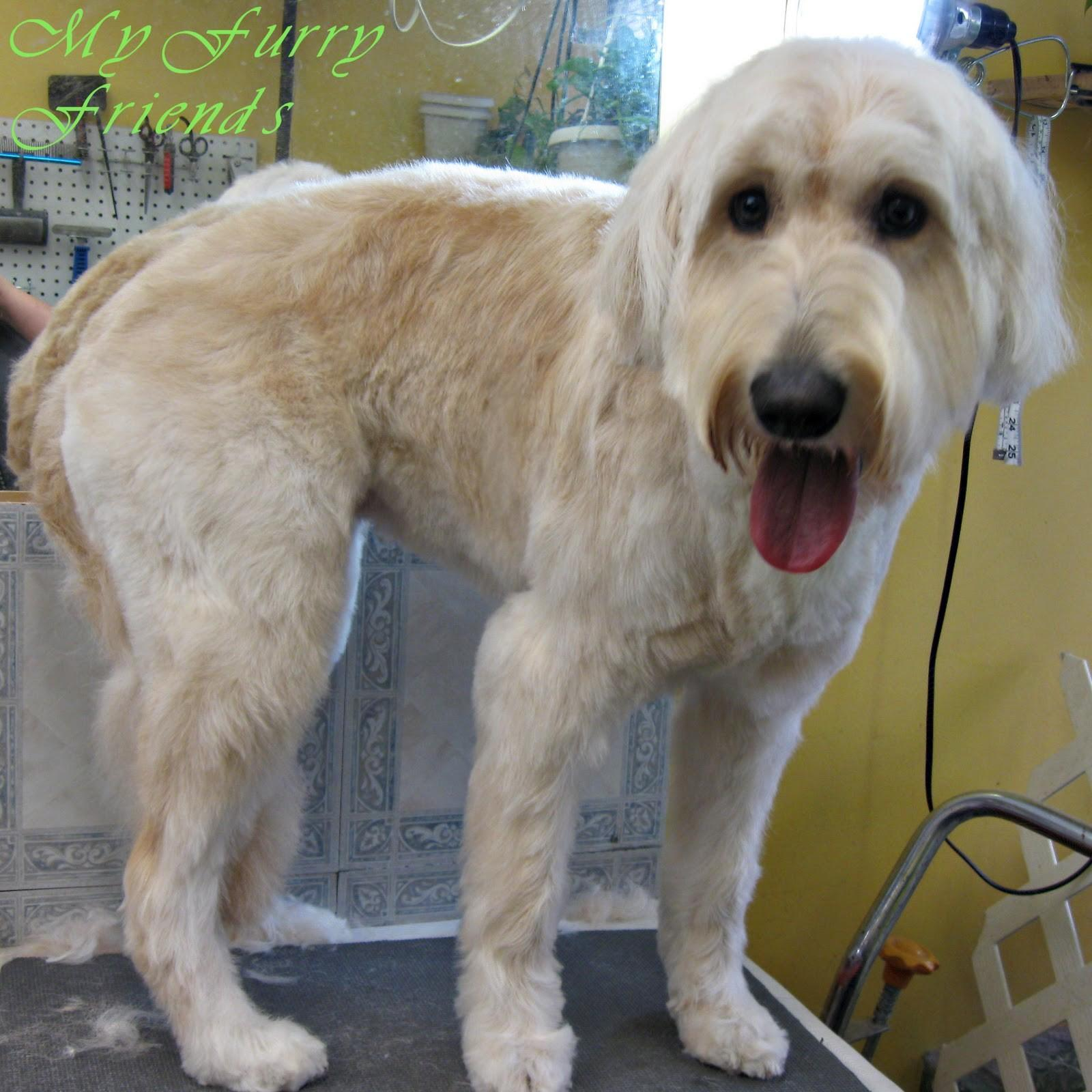 Goldendoodle Haircut Newhairstylesformen2014