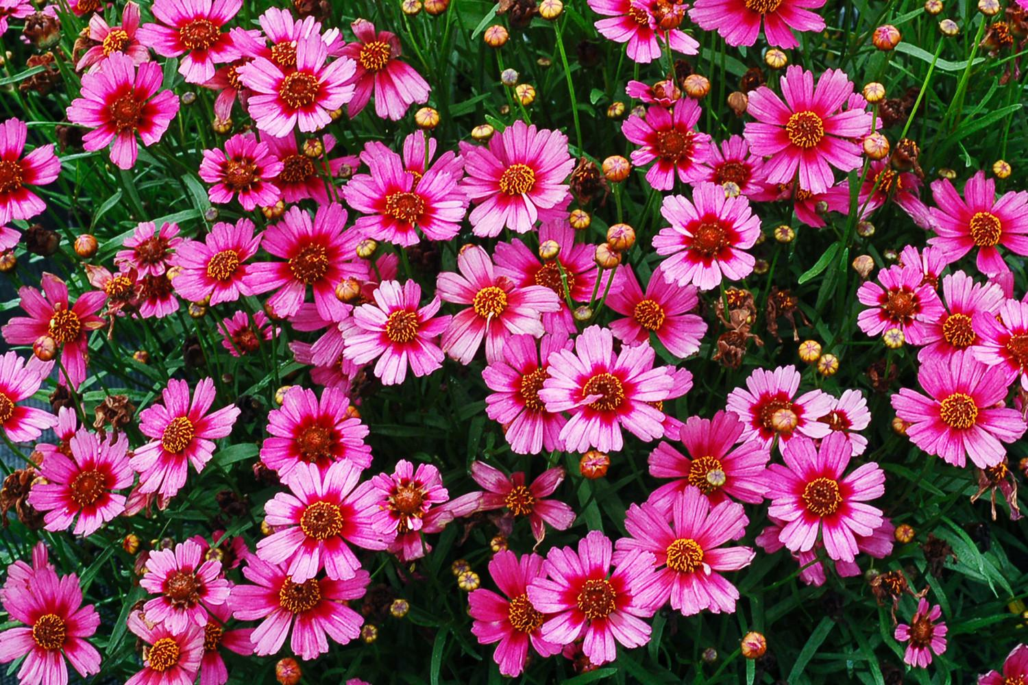 Gorgeous Coreopsis Varieties Sunset