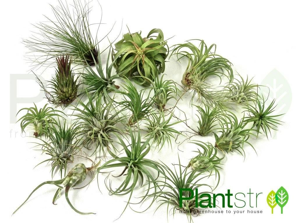 Great Variety Pack Premium Air Plants Don Miss