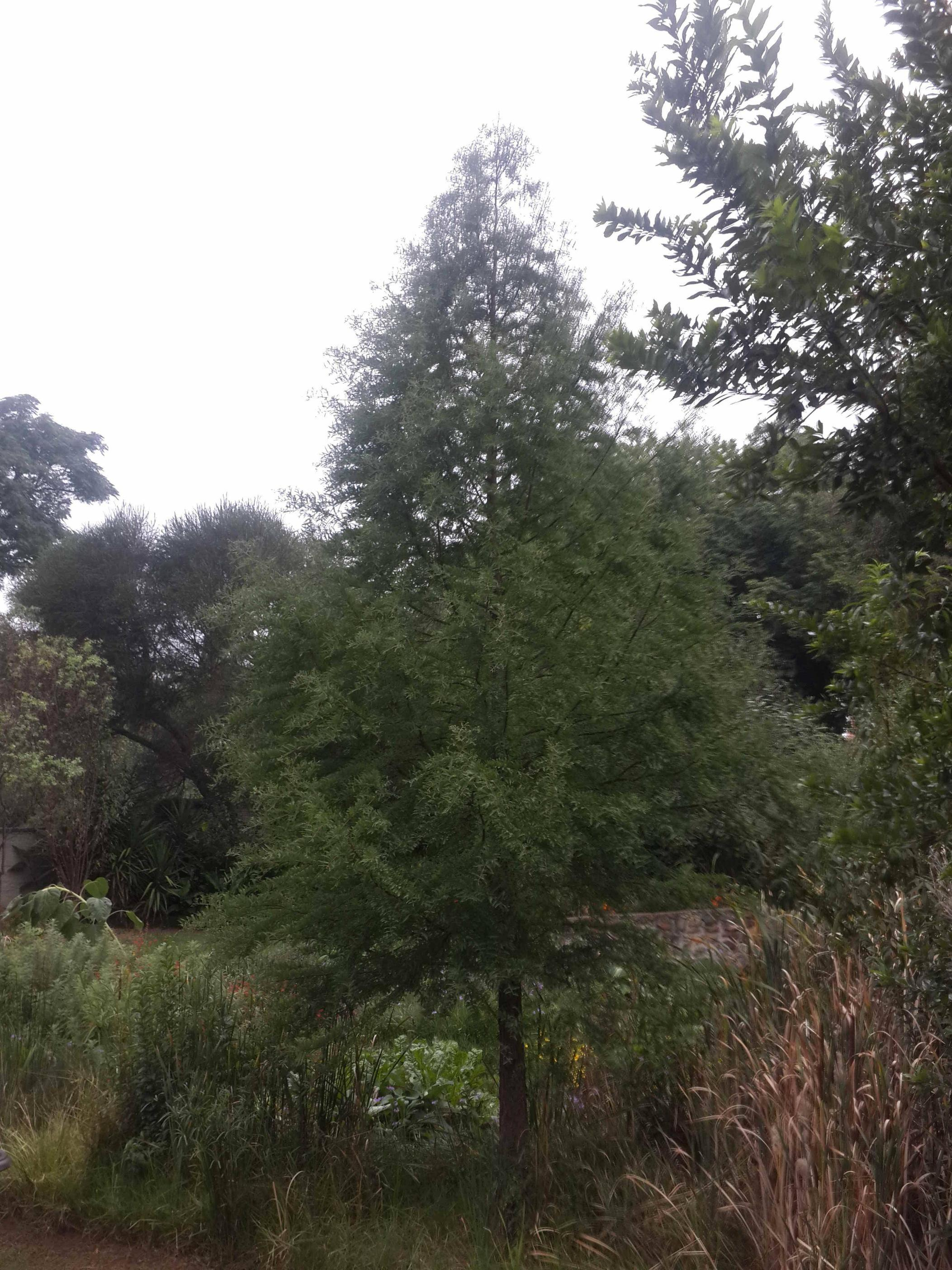 Identification Cone Shaped Tree