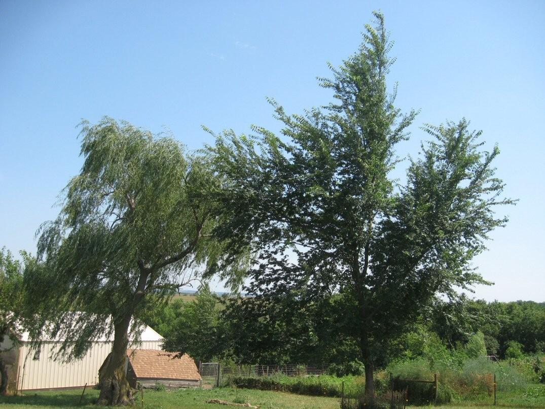 Kleckner Oasis Fast Growing Elm