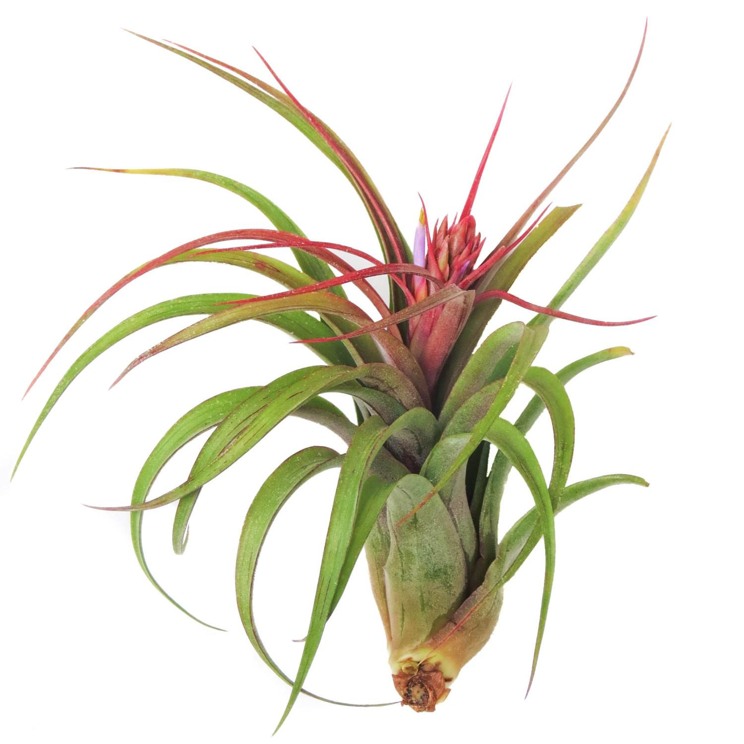 Large Air Plants Streptophylla Day Plant