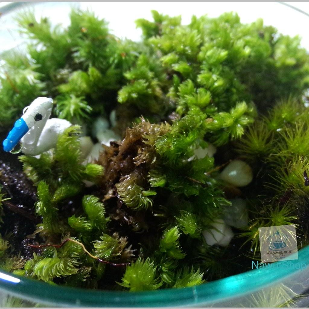 Live Moss Terrarium Natural Species Plans Forest Diy