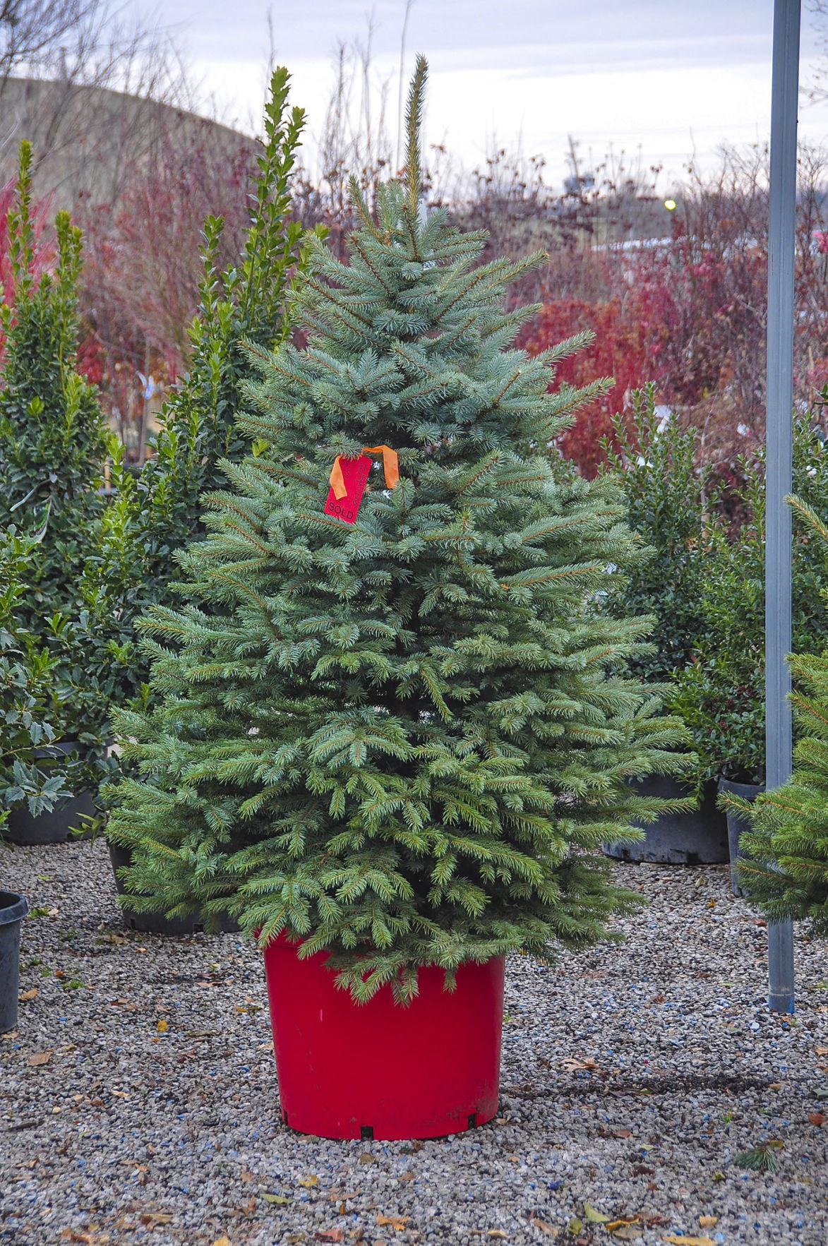 Master Gardener Choosing Perfect Christmas Tree