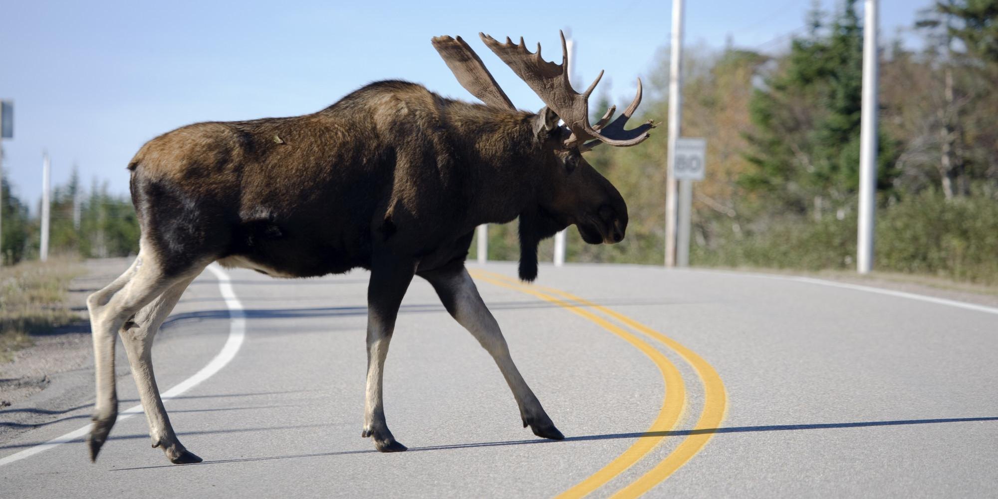 Newfoundland Driver Crashes Into Moose After Other