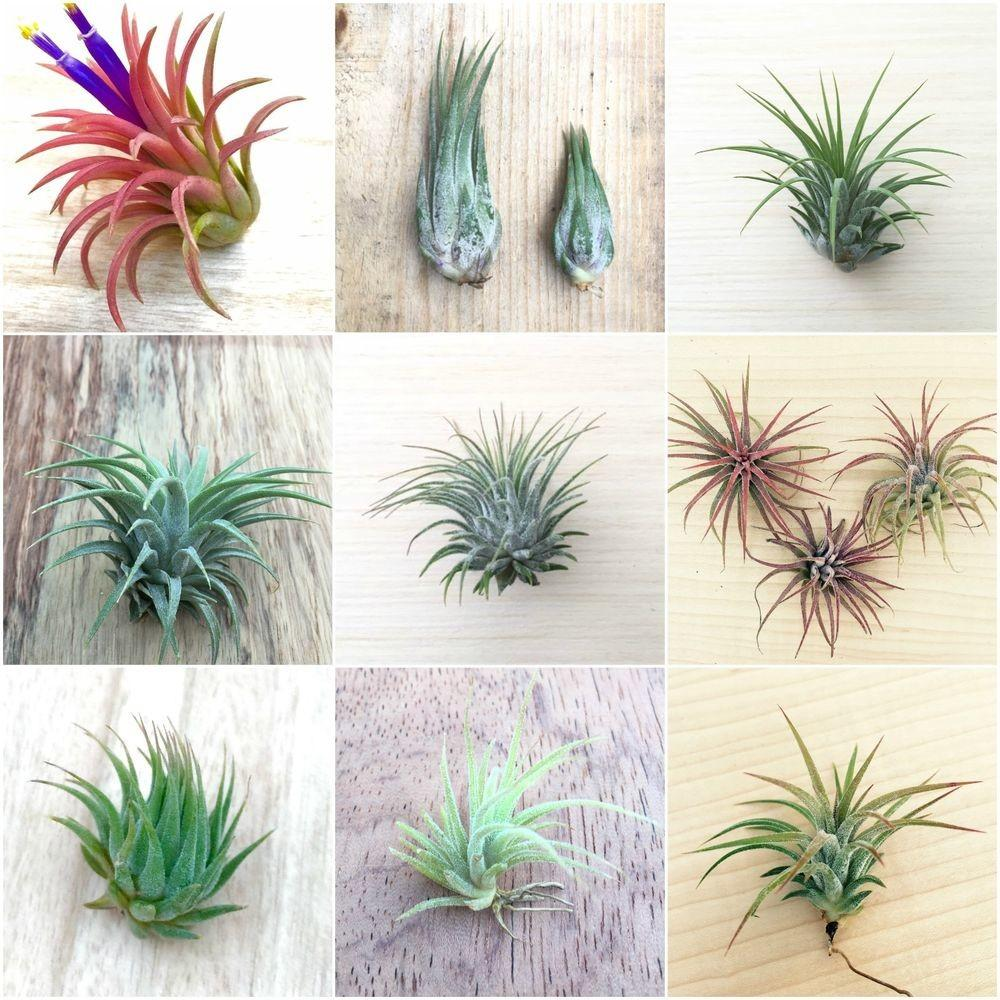 Pack Assorted Tillandsia Ionantha Air Plants