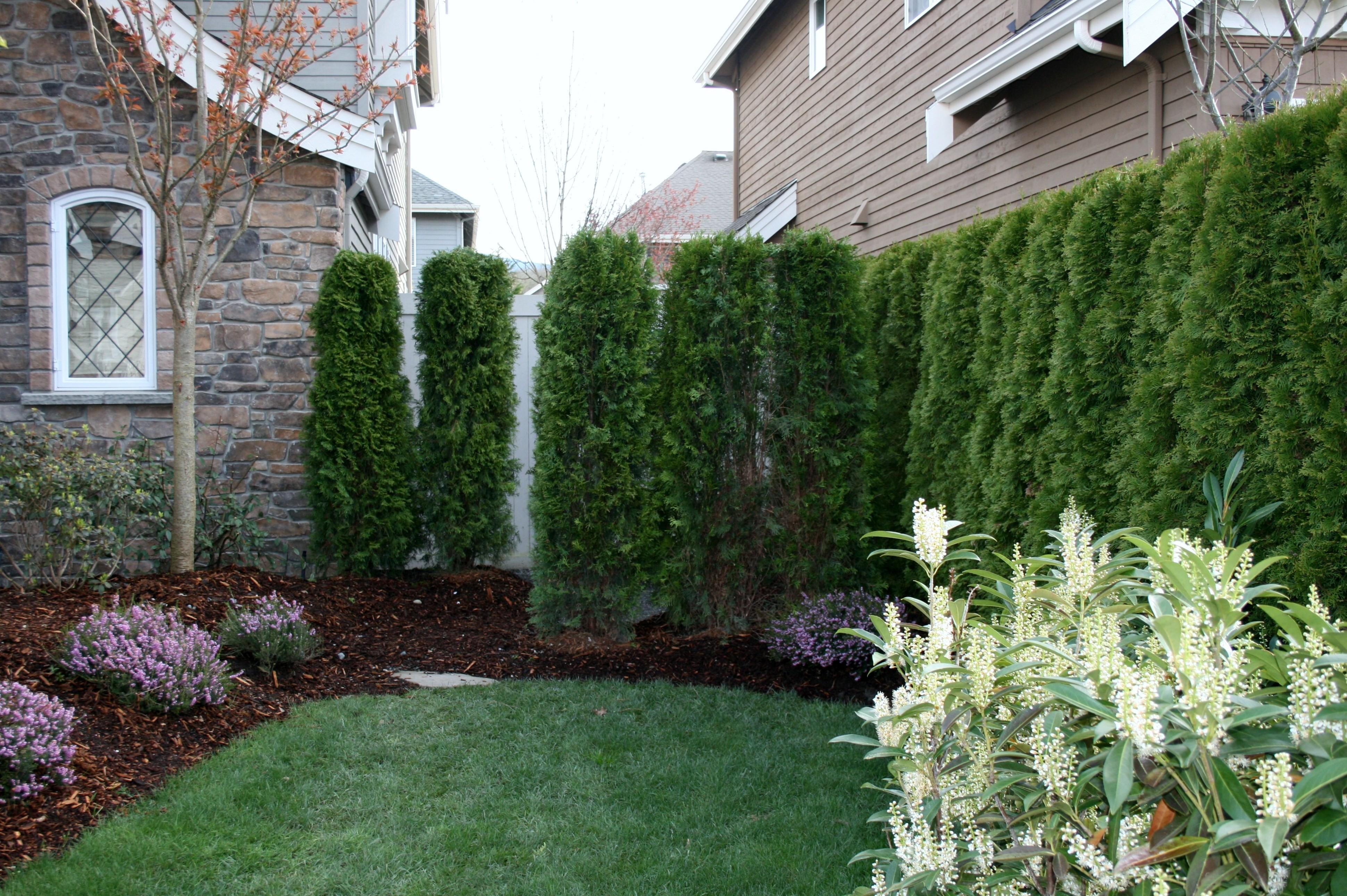 Plant Front Side Yard Privacy Hedge Home