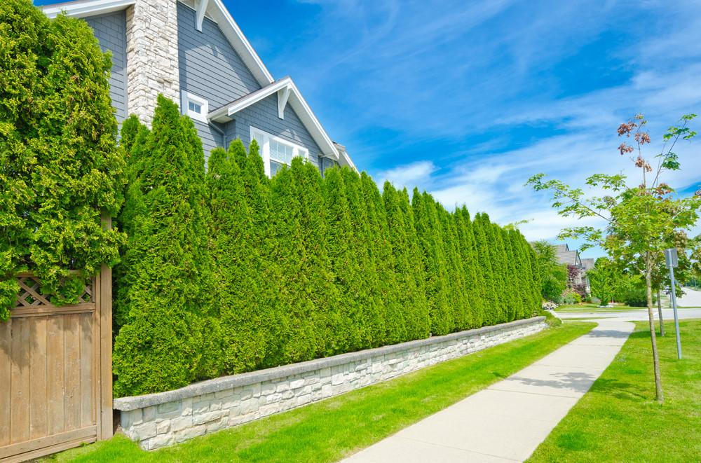 Plant Hedges Bushes Create Living Privacy Screen