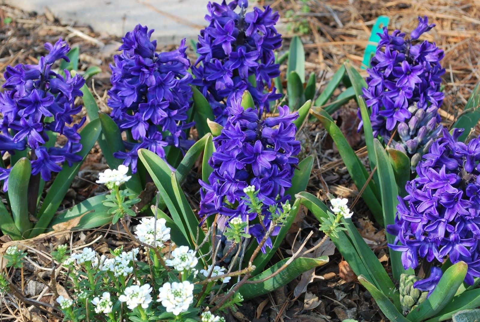 Planting Spring Bulbs Well Done Landscaping