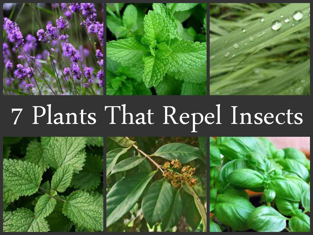 Plants Repel Insects Ecogreenlove