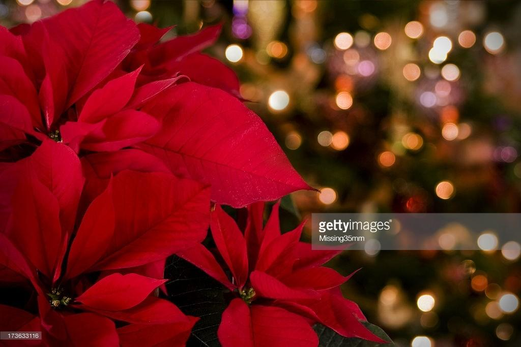Poinsettia Christmas Lights Stock Getty