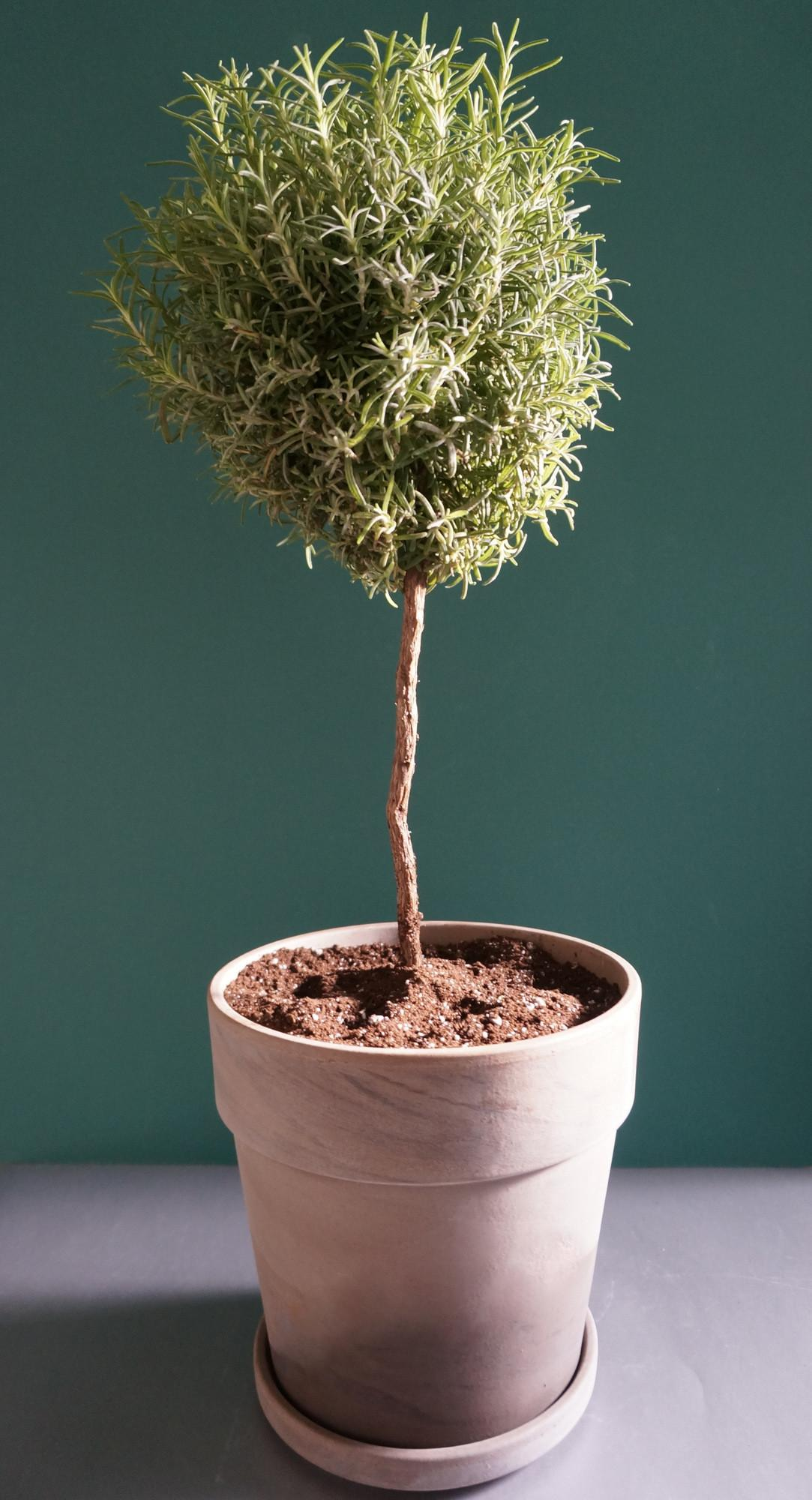Potted Topiary Tips Maximize Greenery