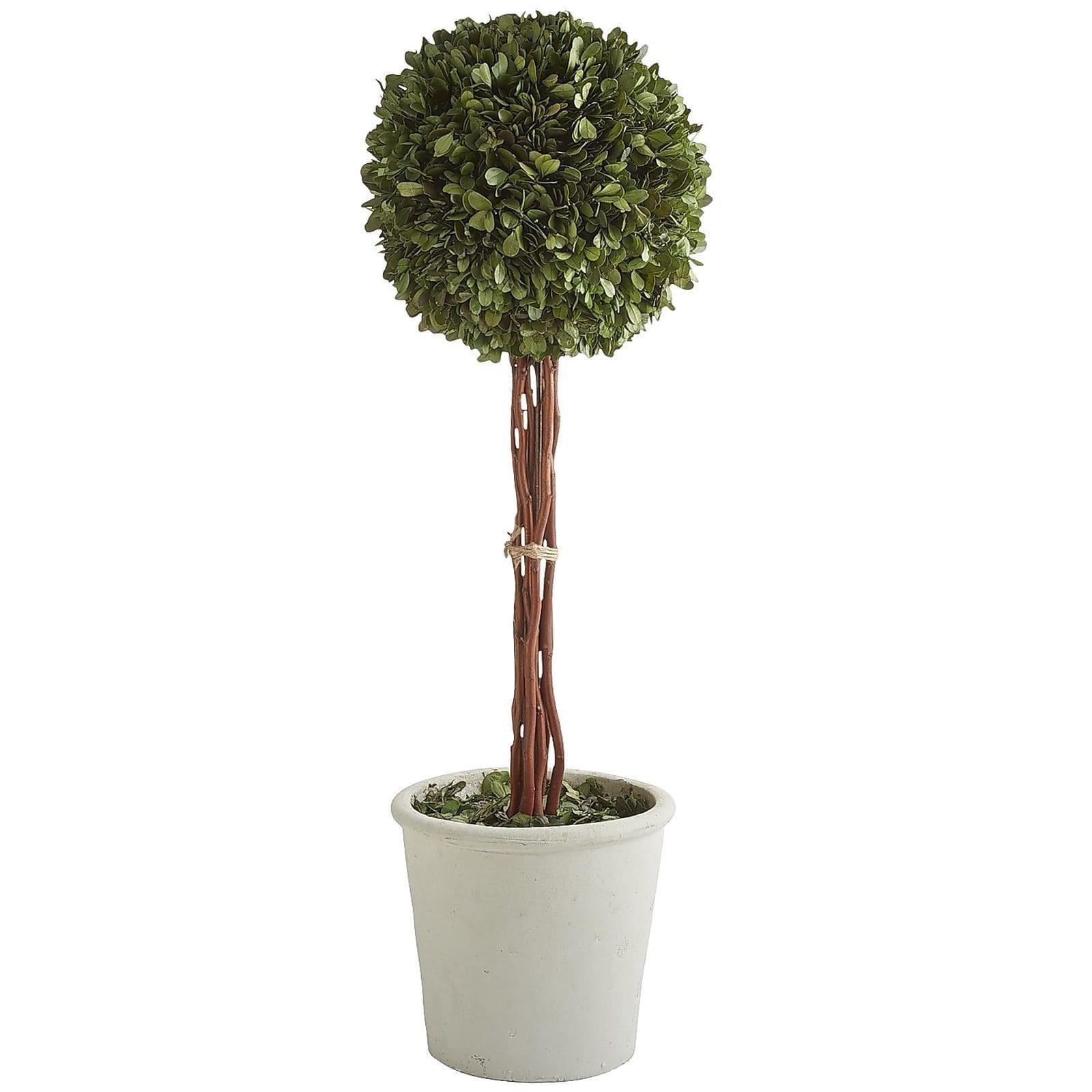 Preserved Boxwood Tall Topiary Pier Imports