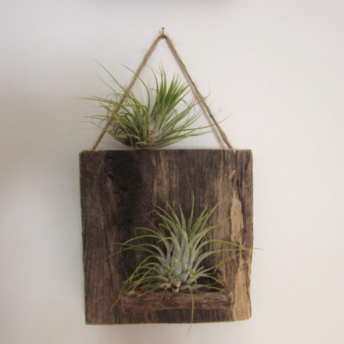 Reclaimed Wood Air Plant Wall Holder