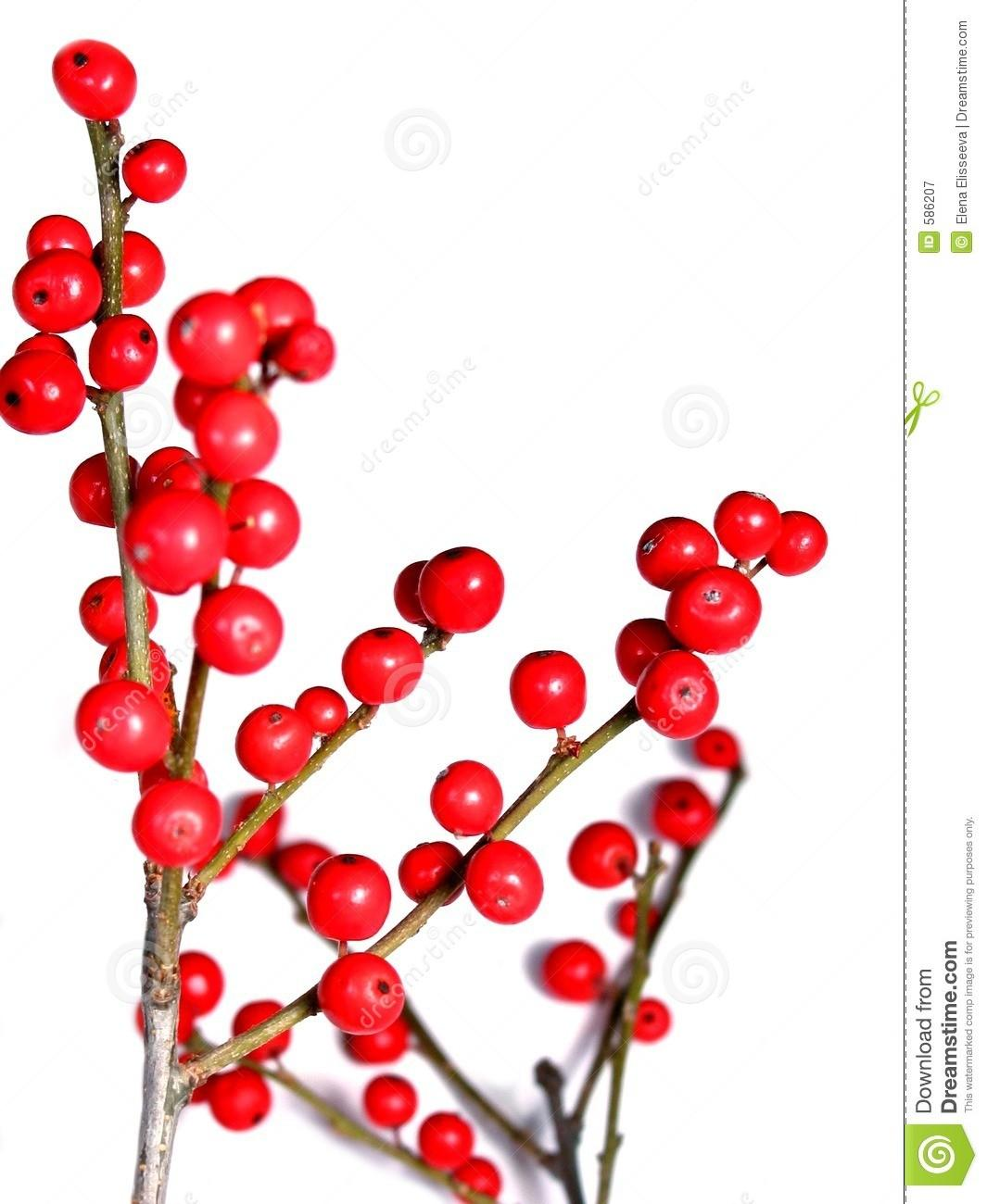 Red Christmas Berries White Stock