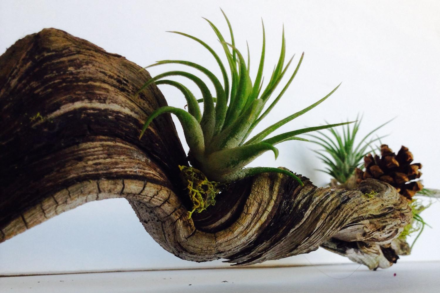 Sample Driftwood Airplants Green Moss Details Living