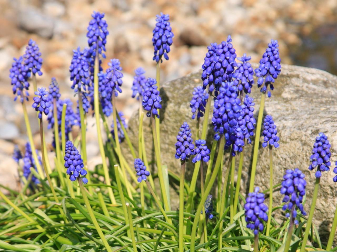 Spring Blooming Bulbs Landscaping Ideas Hardscape