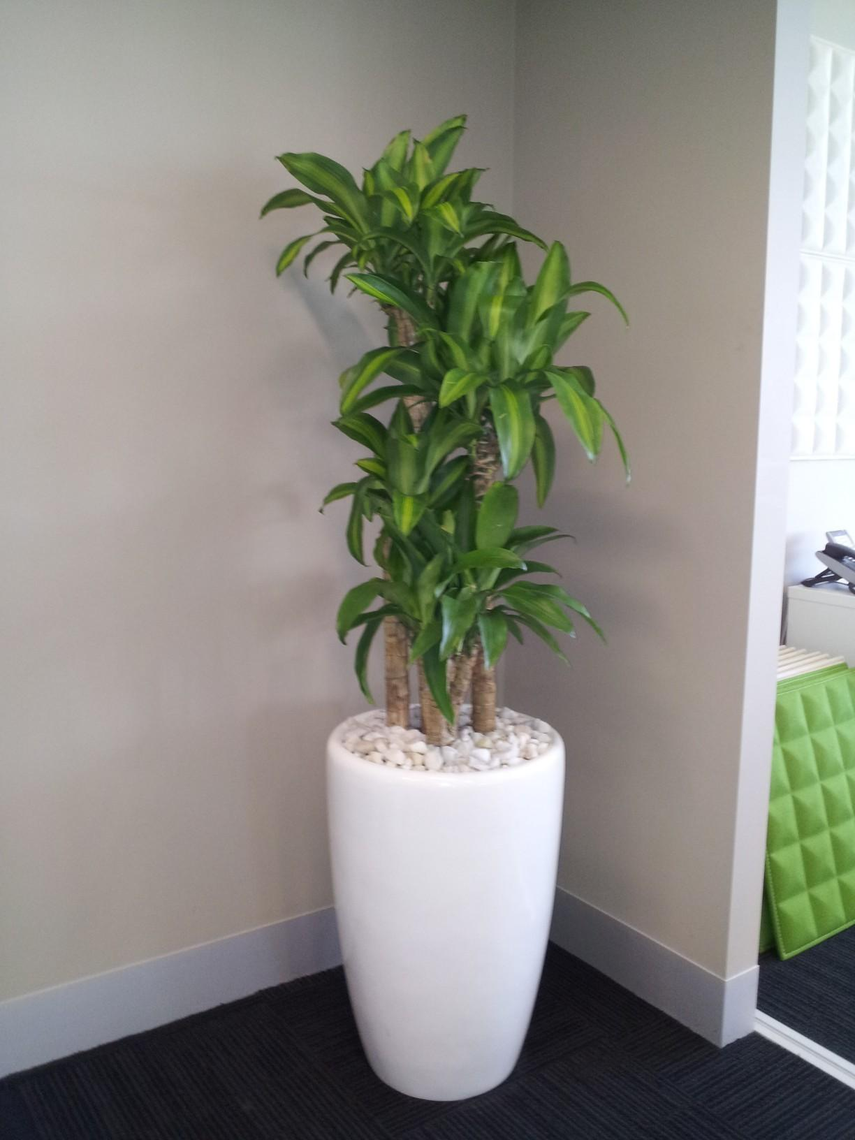 Standing Plants Indoor Plant Hire Sydney