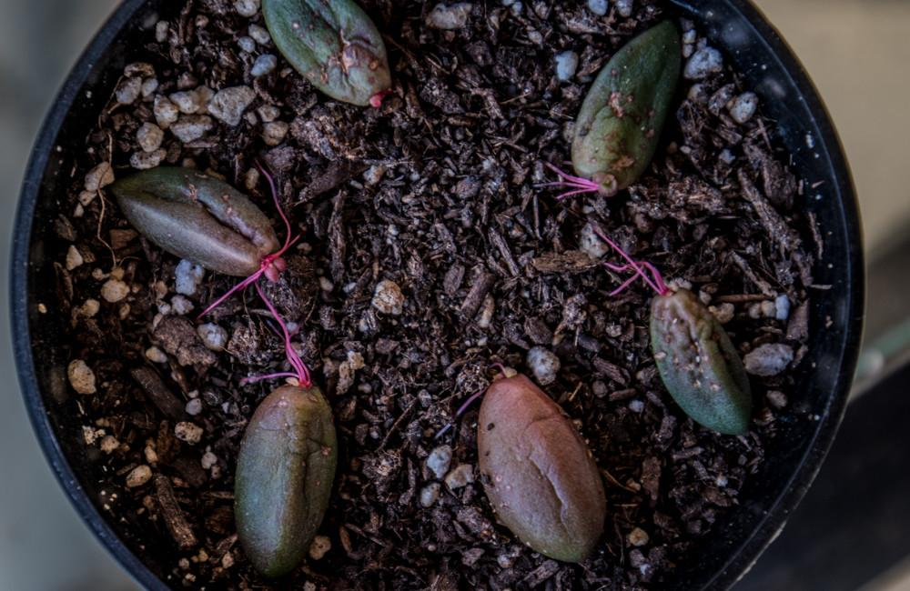 Succulent Propagation Leaf Beheadings Slightly Organic