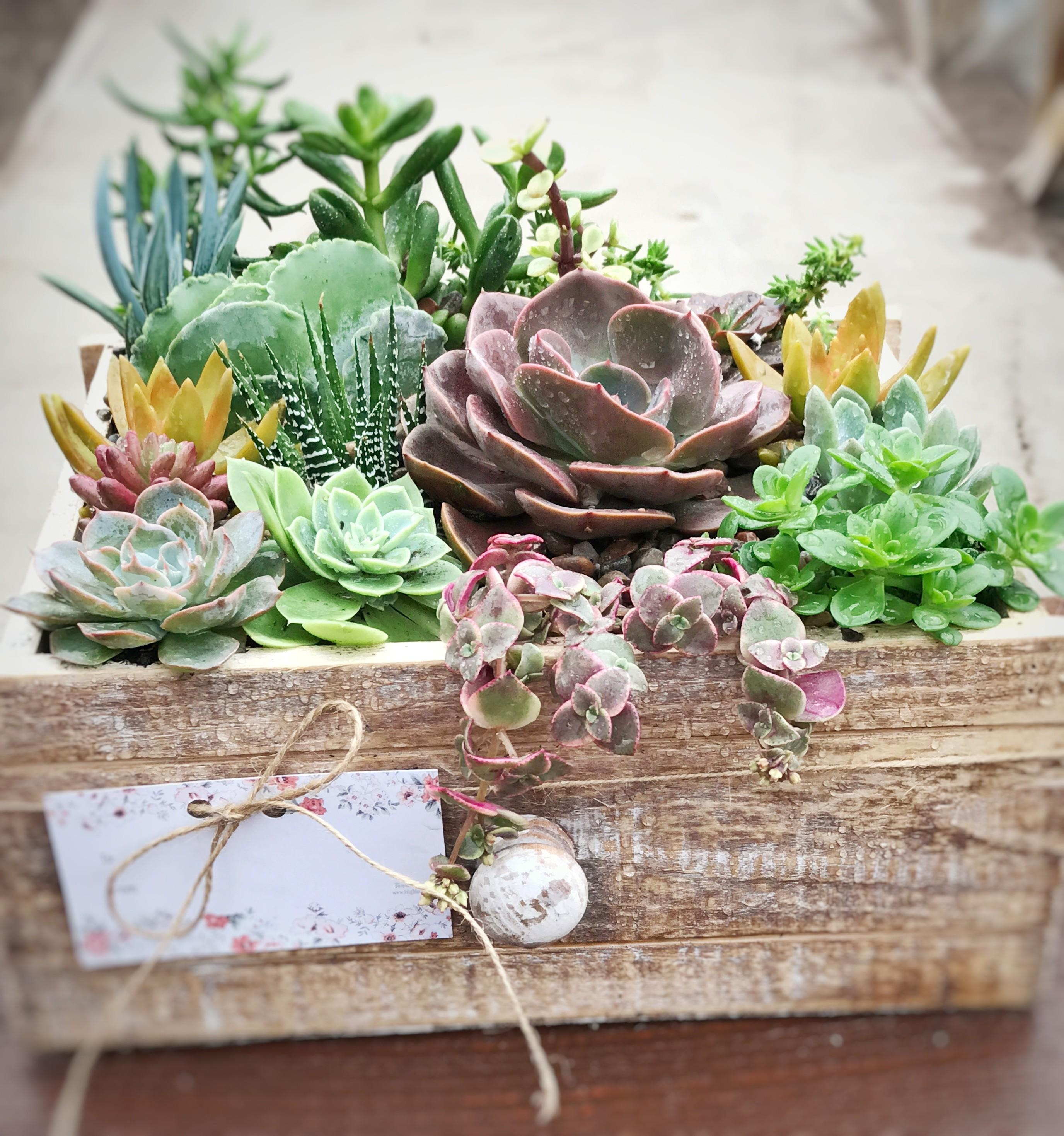 Succulent Rustic Drawer Bloomer Nursery